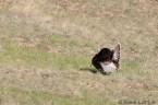 Meleagris gallopavo