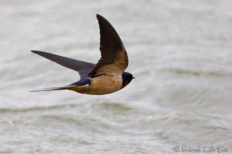 Hirondelle rustique - Barn Swallow