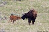 Bisou de bison à son 'bisonneau'
