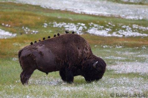 Bison avec vachers à tête brune sur le dos