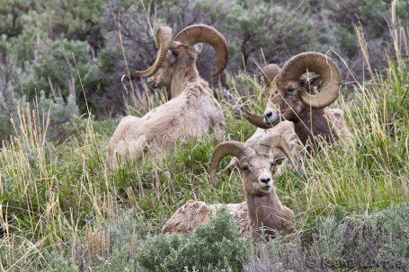 Mouflons du Canada - Bighorn Sheeps