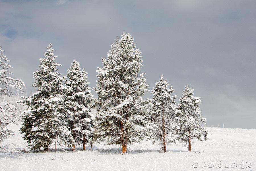 Pins enneigés - Hayden Valley