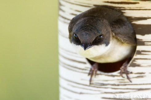Hirondelle bicolore femelle au nid
