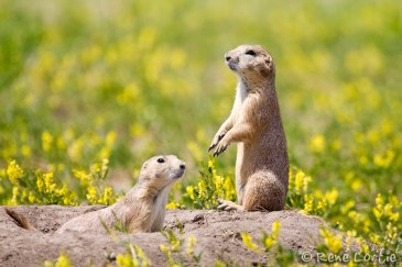 Chiens de praire - Prairie Dogs