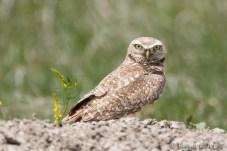 Chevêche des terriers - Burrowing Owl
