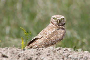 Chevêche des terriers - Burrowing Owl