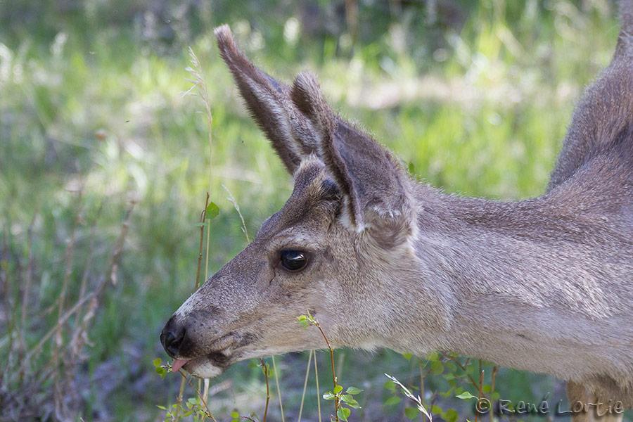 Cerf / Deer