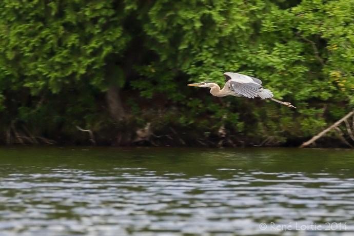 Grand héron sur le lac Papineau