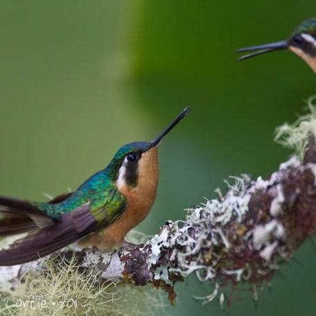 Colibri à gorge pourprée