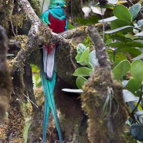Quetzal replendissant
