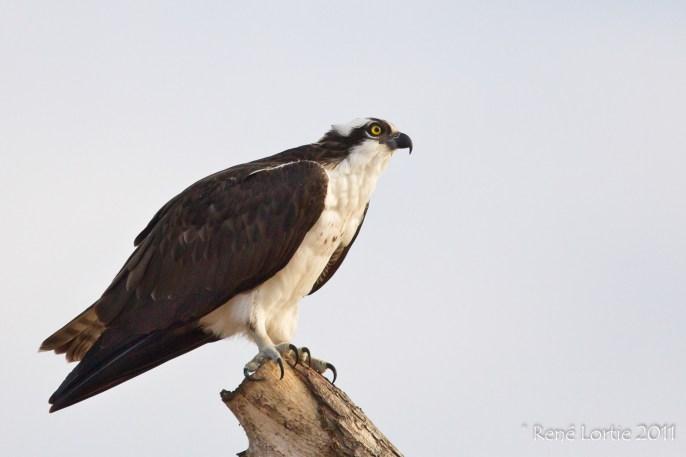 Balbuzard pêcheur / Osprey; Tarcoles