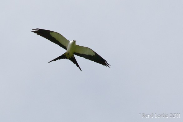Swallow-tailed Kite - Elanoides forficatus