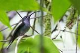 Campyloptère violet-Violet Sabrewing-Campylopterus hemileucurus