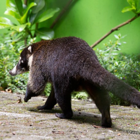 White-nosed Coati-Nasua narica