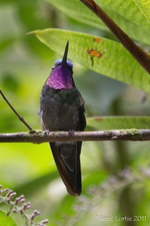 Purple-throated Mountain-gem Lampornis calolaema