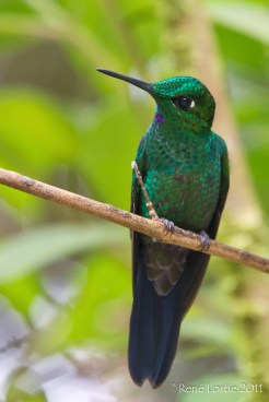 Green-crowned Brilliant, Heliodoxa jacula