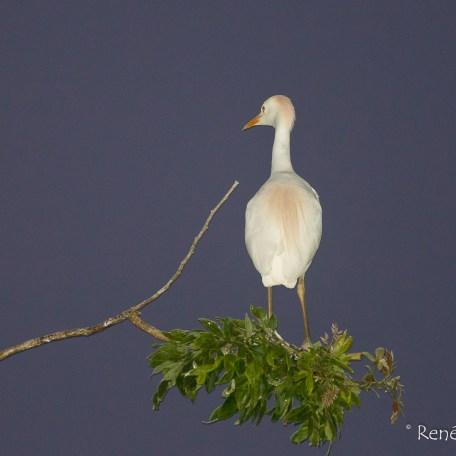 Bubulcus ibis, Cattle Egret, Héron garde-boeufs