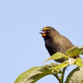 Yellow-faced Grassquit, Tiaris olivaceus