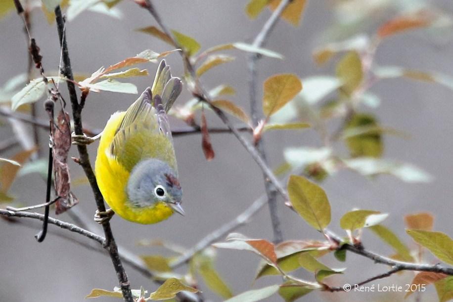 Paruline à joues grises / Nashville Warbler / Oreothlypis ruficapilla