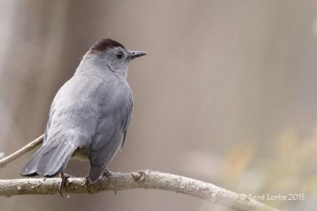 Moqueur chat / Gray Catbird / Dumetella carolinensis