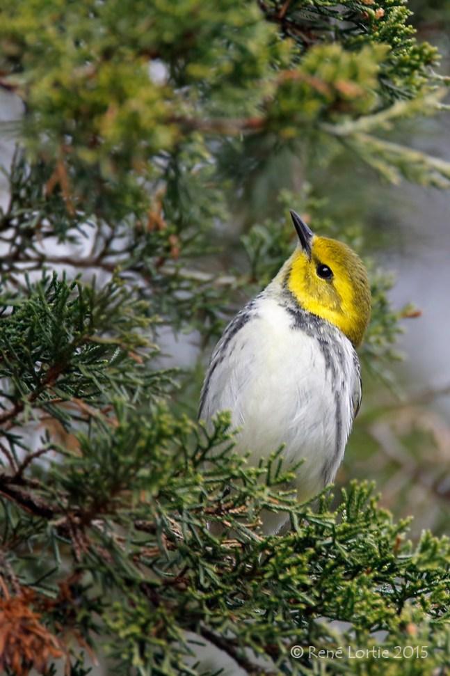 Paruline à gorge noire / Black-throated Green Warbler / Setophaga virens
