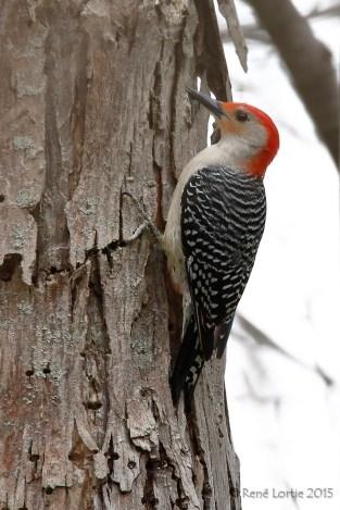 Pic à ventre roux / Yeloow-bellied Woodpecker / Melanerpes carolinus