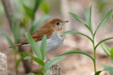 Grive fauve / Veery / Catharus fuscescens