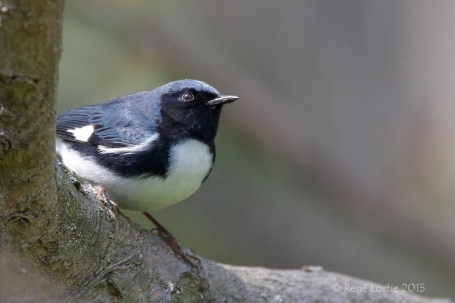 Paruline bleue / Black-throated Blue Warbler / Setophaga caerulescens