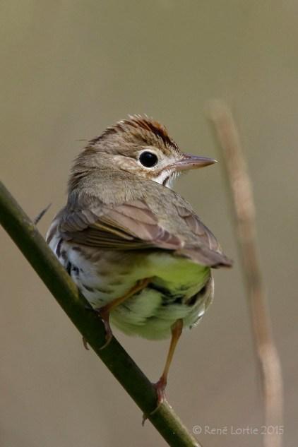 Paruline couronnée / Ovenbird / Seiurus aurocapilla