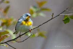 _X6A7140-PtePelee20150506_ParulineACollier-v2