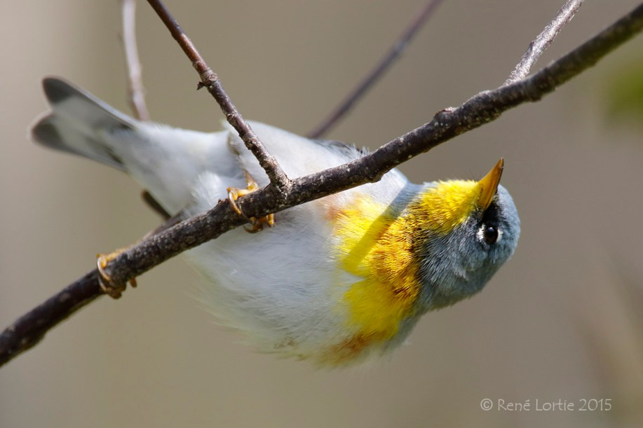 Paruline à collier / Northern Parula / Setophaga americana