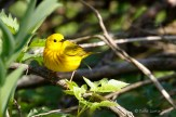 Paruline jaune / Yellow Warbler / Setophaga petechia
