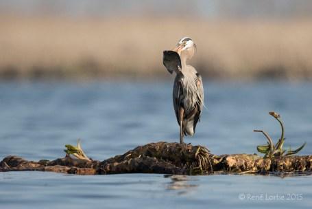 Grand héron avec crapet / Great Blue Heron