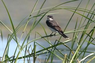 Tyran tritri / Eastern Kingbird