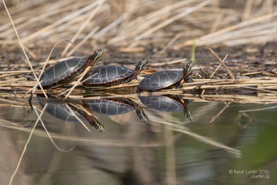 Tortues peintes / Painted Turtle