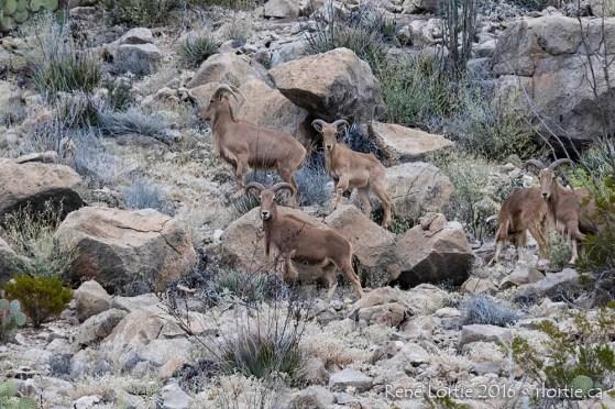 Troupeau de mouflons du désert (Ovis canadensis nelsoni) rencontré près du tunnel menant à Rio Grande Village