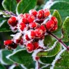 Petits fruits givrés - Lost Mine Trail, secteur Chisos Mountains.