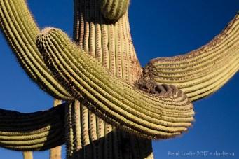 Saguaro (par ici ? Non, par là...)