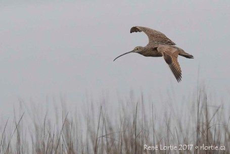Courlis à long bec / Long-billed Curlew