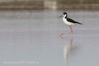 Échasse d'Amérique / Black-necked Stilt