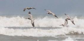 Pélicans bruns sur la plage de Freeport / Brown Pelicans - Freeport beach