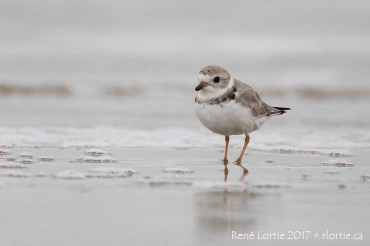 Pluvier siffleur / Piping Plover