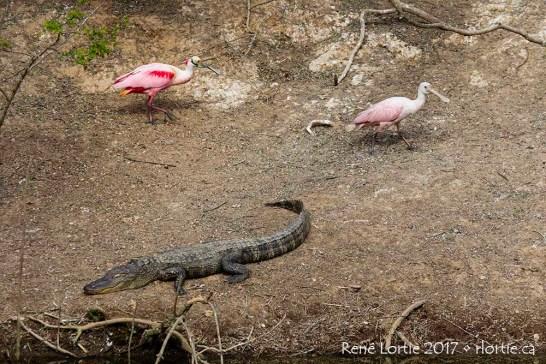 Spatules rosées / Roseate Spoonbills • Elles contournent prudemment l'alligator