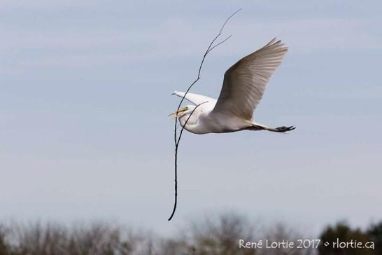 Une grande aigrette transporte des matériaux pour son nid / Great Egret carrying nesting material