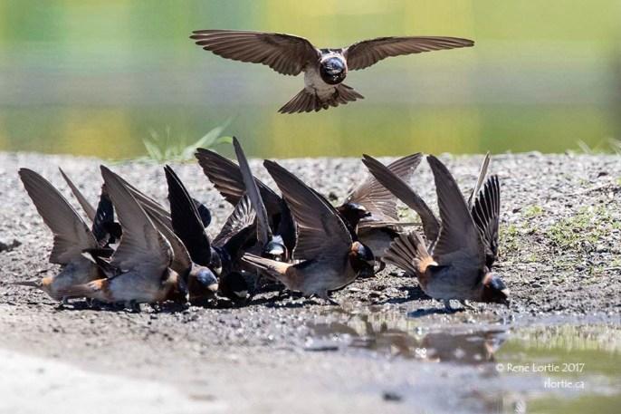Hirondelles à front blanc ramassant de la boue avec laquelle elles construisent leur nid