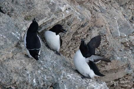 Petits pingouins / Razorbills