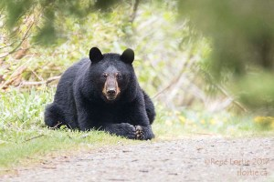 Ours noir / Black Bear