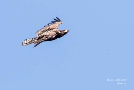 Pygargue à tête blanche (juvénile) / Bald Eagle