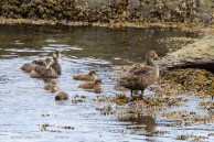 Eiders à duvet femelles et petits / Common Eiders (female)