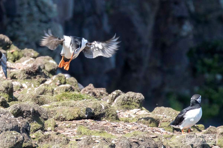 Macareux moine / Atlantic Puffin